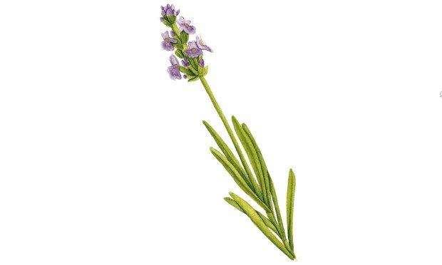03 - plantas-medicinais-alfazema