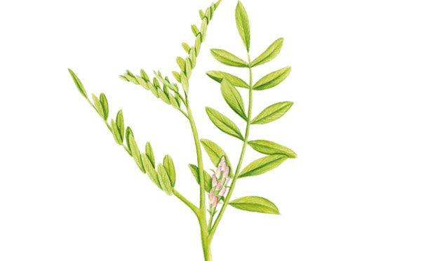 04 - plantas-medicinais-alcacuz