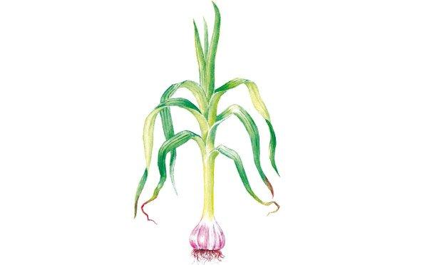 06 - plantas-medicinais-alho