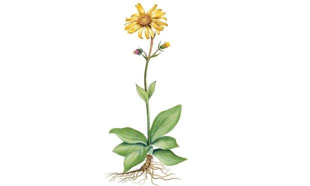 07 - plantas-medicinais-arnica
