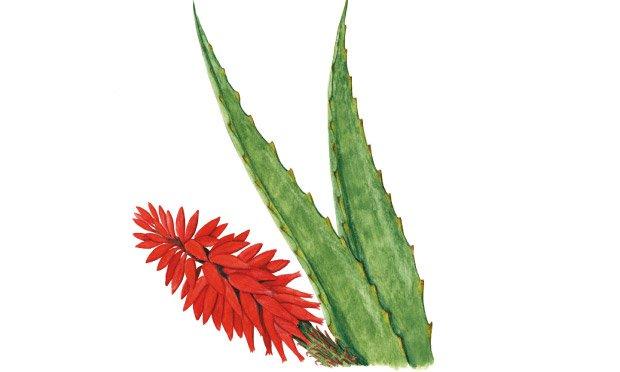 08 - plantas-medicinais-babosa