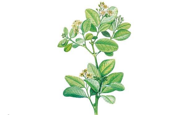 09 - plantas-medicinais-boldo-do-chile
