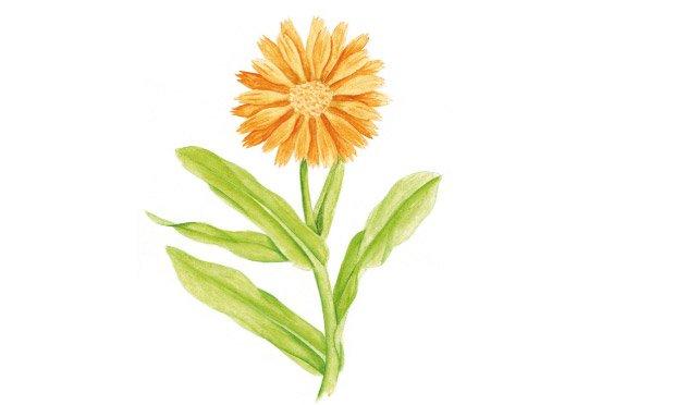 10 - plantas-medicinais-calendula