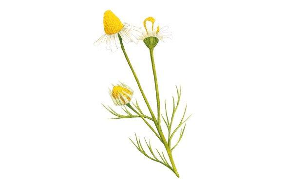 11 - plantas-medicinais-camomila